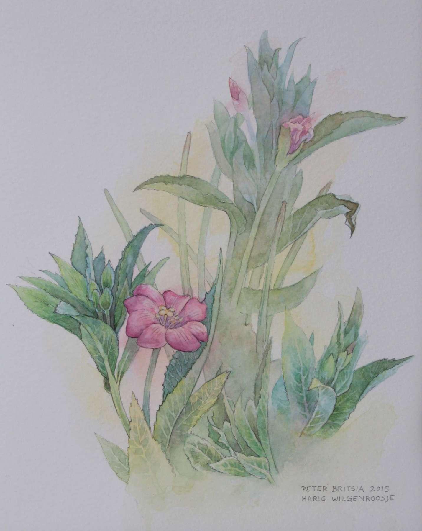 Harig wilgenroosje - aquarel - 18 x 23 cm.