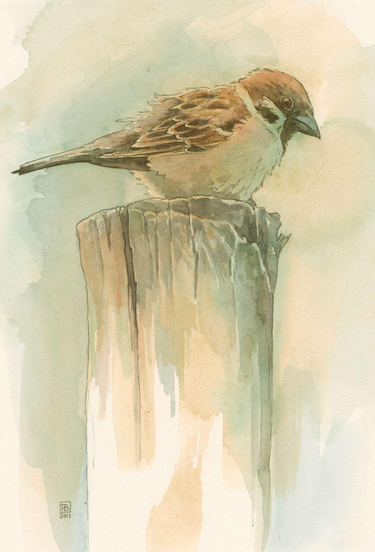 Ringmus - aquarel 17 x 25 cm.