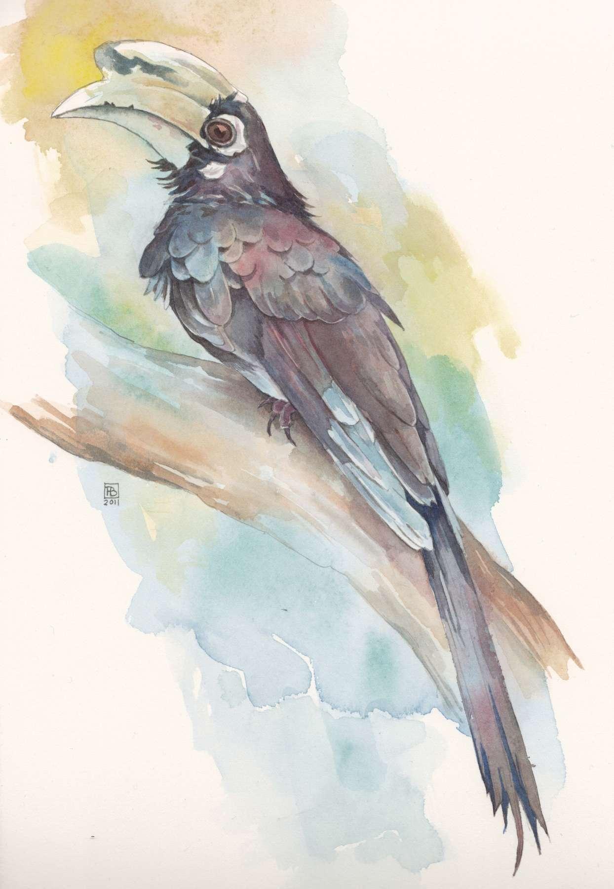 Neushoornvogel - aquarel 16 x 28,5 cm.